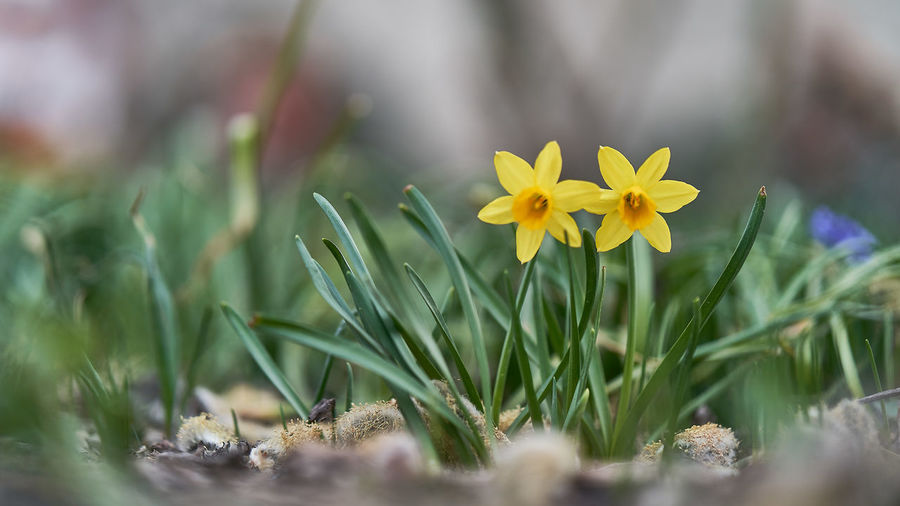 Plant Flower Flowering Plant Freshness Fragility Growth Vulnerability  Beauty In Nature Selective Focus Petal Inflorescence Close-up Nature Flower Head Land Field No People Yellow Day Outdoors Springtime Crocus Blade Of Grass First Eyeem Photo EyeEmNewHere EyeEm Nature Lover EyeEm Selects