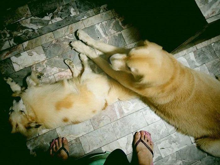 โอเคครับพี่ ต้องจ่ายค่าผ่านทางก่อนถึงจะหลบให้ใช่ไหมครับ ขนมกี่ชิ้นว่ามา 😖😖😖 Get out of my way!!! Dog Instadog Dogstagram Dogfromhell Pet Pet13 Goldenretriever