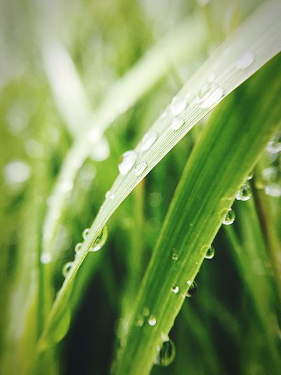Green Color Wet Drop Water Plant Growth Close-up Plant Part Leaf Nature Beauty In Nature No People Freshness Day Selective Focus Grass Outdoors Focus On Foreground Rain Dew