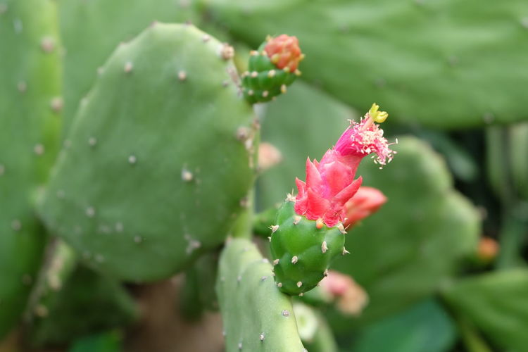 cactus and flower Plant Growth Flower Flowering Plant Beauty In Nature Vulnerability  Fragility Close-up Freshness Green Color Day Nature Plant Part Pink Color Leaf Focus On Foreground No People Petal Inflorescence Flower Head Outdoors Cactus And Flower Cactus Red Flower