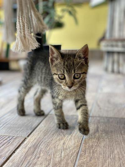 Portrait of tabby kitten on wooden floor