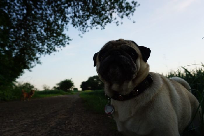 Dog Domestic Animals Pets Mammal Animal Themes One Animal Tree Sky No People Outdoors Day Close-up Portrait Nature Mops Cute Dogs Cute Dog  Cute Pug