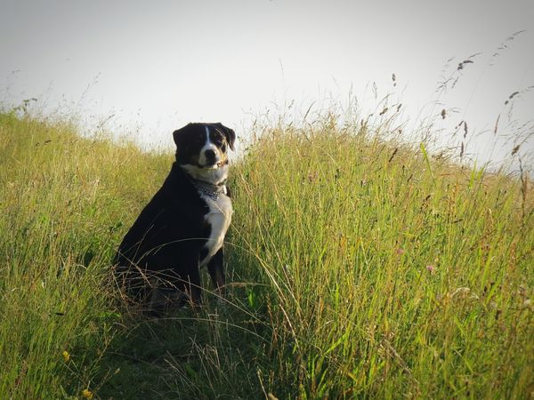 Appenzellermountaindog Dog Walking Dog In Nature Dog Love I Love My Dog Happy Dog Dog Of The Day Dog In Grass Sitting Dog Peaceful Peaceful Evening Peaceful Place Love