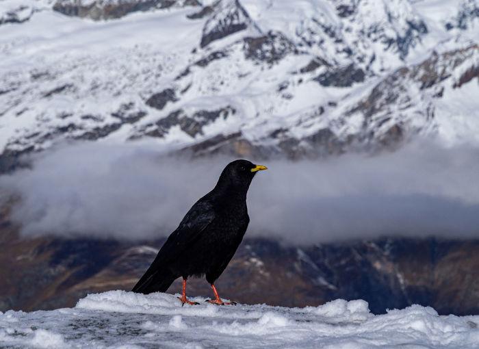 Alpine chough perching on snow