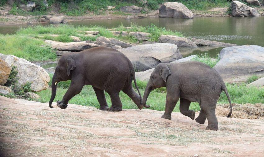 Elephant calves walking on field