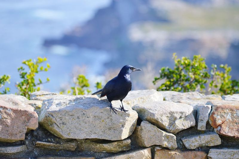 Crow perching on retaining wall