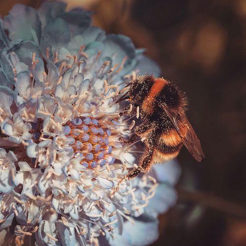 Close-up of honeybee pollinating on flower