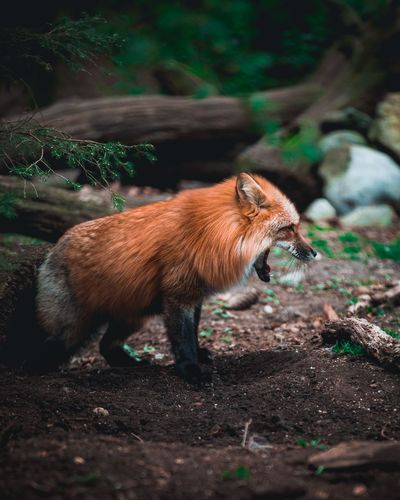 Side view of red fox yawning in forest