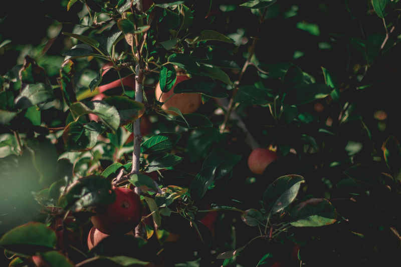 Fall vibes at a local farm. Apple Fall Vibes. Farm Farm Life Green Red Apple Fruit Apple Tree Beauty In Nature Close-up Day Freshness Growth Leaf Nature No People Outdoors Plant