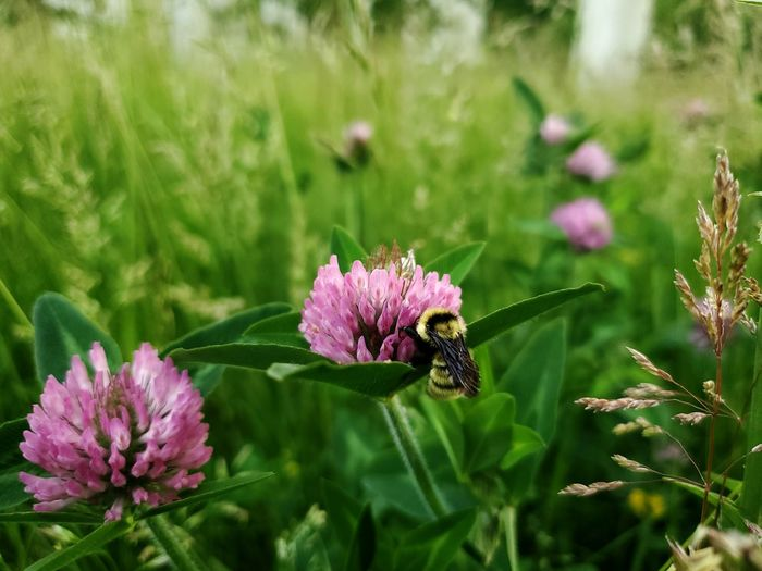 Bumblebee Bumblebee On Flower Nature Photography Greenery Scenery Blurred Background Lavender Colored Bee Flower Head Flower Pollination Bee Thistle Pink Color Insect Purple Petal Animal Themes Eastern Purple Coneflower Pollen Blooming Lavender Buzzing In Bloom Honey Bee Flowering Plant The Mobile Photographer - 2019 EyeEm Awards The Great Outdoors - 2019 EyeEm Awards My Best Photo