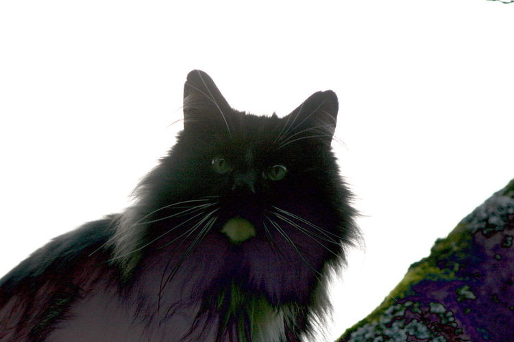 Free And Wild Fuzzy Hunter Norwegian Forestcat  Black Smoke Kitty Blackandwhite Domestic Cat Up In The Trees