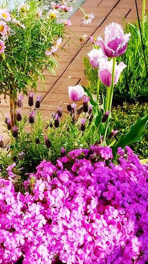 Garden Photography Spring Flowers Flower Growth Pink Color Nature Beauty In Nature Plant Fragility Purple No People Day Outdoors Freshness Flower Head Blooming Grass Daisy Flower Kind Of Phlox Special Tulip With Fringes All In Purple 😉