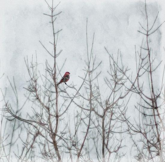Barren Barren Trees Bird Bird In The Snow Birds Branch Cardinal Cold Cold Temperature Growth Nature No People Outdoors Perching Perching Bird Red Bird Snow Snow ❄ Snowing Textures Twig Vignette Winter Winter Birds Wintertime