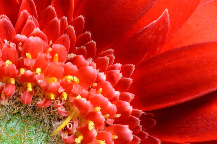 Red gergera Beauty In Nature Blooming Close-up Flower Flower Head Fragility Freshness Gerbera Flower Nature Outdoors Petal Red Red Flower Red Gerbera