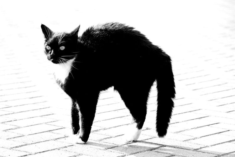 One Animal Animal Mammal Black Color Pets Domestic Animals Close-up Animal Themes No People Wild Cat Sceptical Threatened Defense Animal Wildlife Outdoors Portrait Animals In The Wild Nature Day Angry Black And White Hysteric