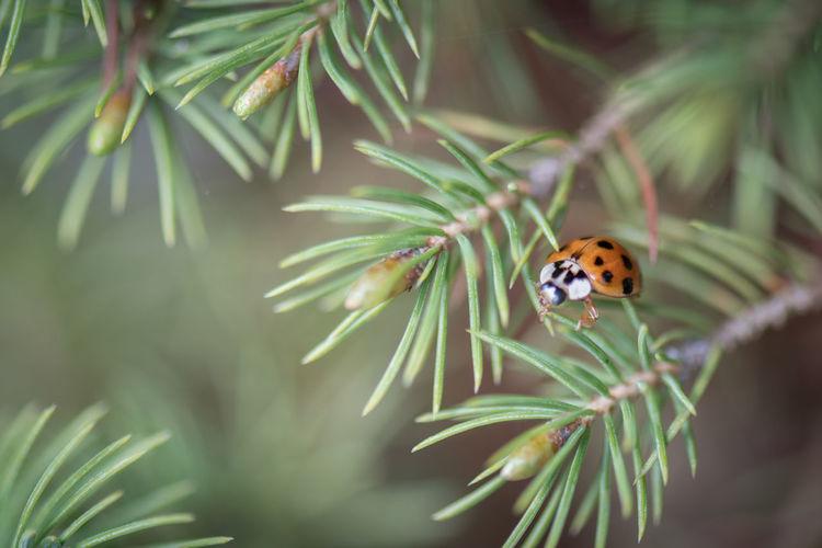 Marienkäfer Insect Ladiebird Ladybug Manchurian Marienkäfer Nature Plant