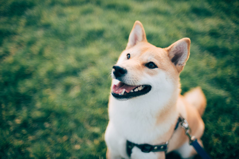 Close-up of dog looking away while sitting on grassy field