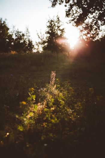 Tree Sunlight No People Nature Outdoors Tranquility Day Plant Sunset Grass Growth Forest Landscape Beauty In Nature Animal Themes Close-up Sky