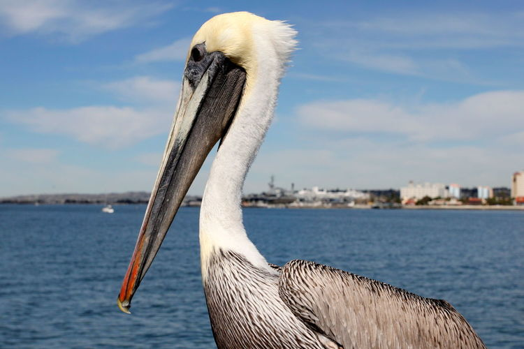 Close-up of pelican by sea against sky