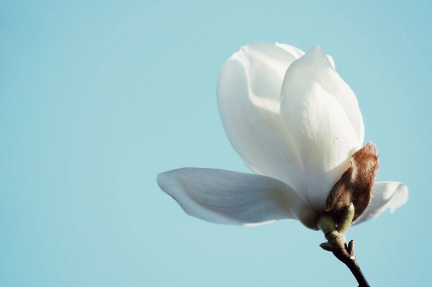 Magnolia ハクモクレン Magnolia_Blossom Flowers Spring Flowers White Flower My Favorite  Flowers, Nature And Beauty Flowers,Plants & Garden In My Garden EyeEm Nature Lover Beautiful Simplicity 日日是好日 Fresh On Market May 2016 Fresh On Market 2016