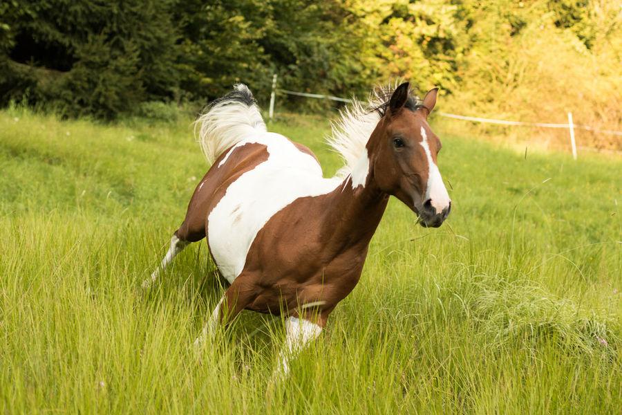 Animal Animals Field Grass Grassfield Horse Mammal May Nature Running Horse Summer First Eyeem Photo