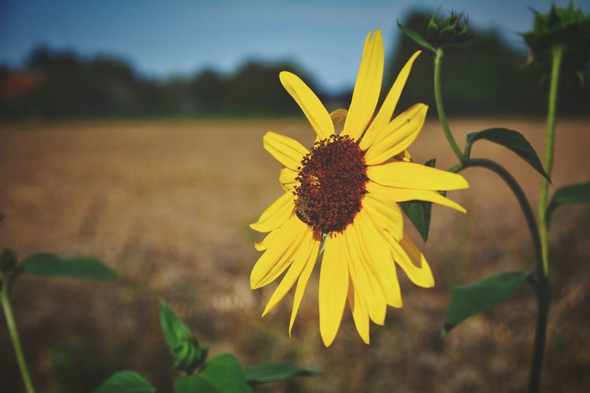 Flower Head Flower Rural Scene Yellow Summer Petal Agriculture In Bloom Flowering Plant Blooming Plant Life Blossom