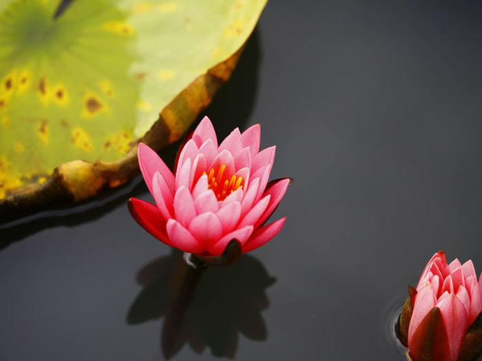 Aquatique Plants Beauty In Nature Botany Elégance Flower Nature Nenuphar Pink Color Roses Zen