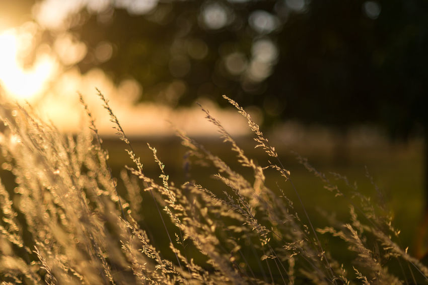 Feldrand im Sonnenuntergang Beauty In Nature Close-up Field Growth Nature Plant Selective Focus Sunlight Sunset Timothy Grass Tranquility