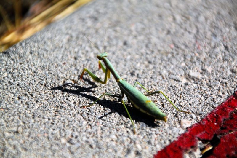 Animal Themes Animals In The Wild Check This Out Colors And Patterns Day EyeEm Gallery Focus On Foreground Fragility Grave Insect Lagavia Macro Mantis Mantis Religiosa Nature One Animal Outdoors Selective Focus Wildlife Zoology