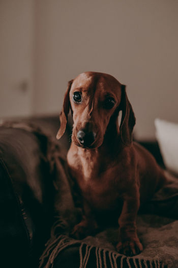 At Home Cute Pets Dogs Of EyeEm Looking At Camera Pet Photography  Pet Portraits Puppy Love Animal Apartment Candid Cute Animals Dachshund Dog Dog Love Dog Portrait Doglover Dogslife Indoors  No People One Animal Puppy Real Life Relaxing Moments Rest Sausage Dog