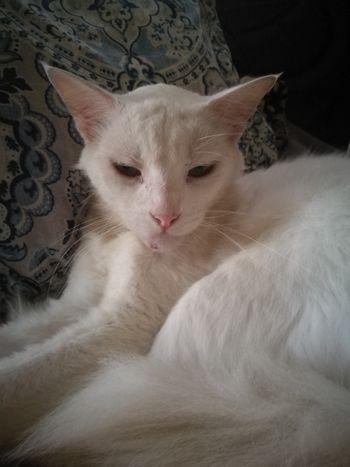 Mi viejo y gran amigo Shiro EyeEm Selects Pets Portrait Feline Domestic Cat Sitting Close-up