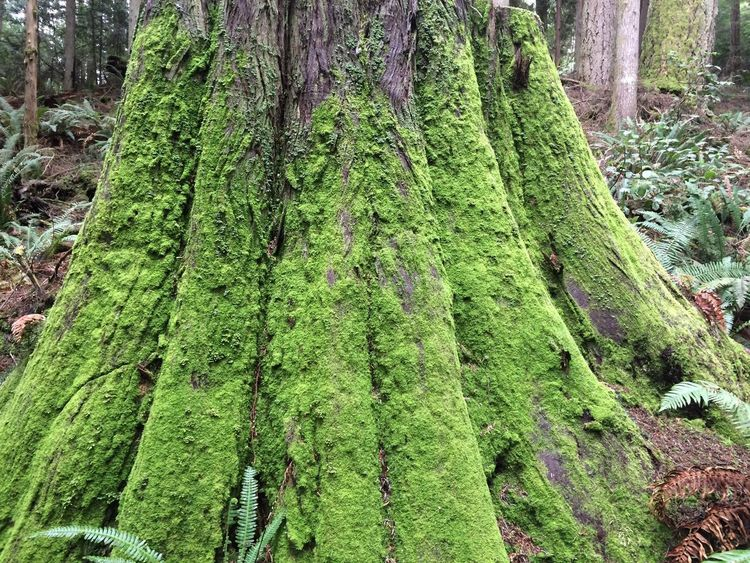 Bark Beauty In Nature Close-up Covering Day Forest Green Color Growth Land Lichen Moss Nature No People Outdoors Plant Plant Part Rainforest Textured  Tranquility Tree Tree Trunk Trunk WoodLand