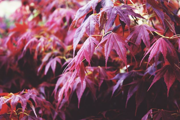 Close-Up Of Tree With Red Leaves