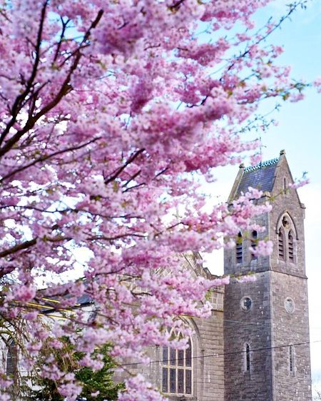 at Maynooth,Ireland Flower Cherry Blossom Tree Blossom Springtime Pink Color Cherry Tree Branch No People Growth Low Angle View Beauty In Nature Fragility Architecture Day Nature Freshness Religion Building Exterior Built Structure Architecture Flowers Church Travel Photography Sunlight