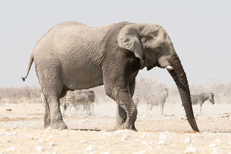 Elephant standing in field