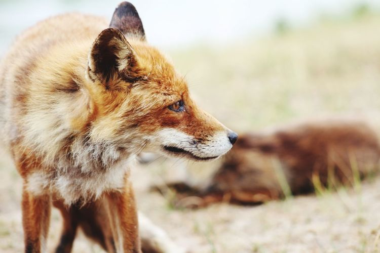 Close-up of fox looking away while standing on field