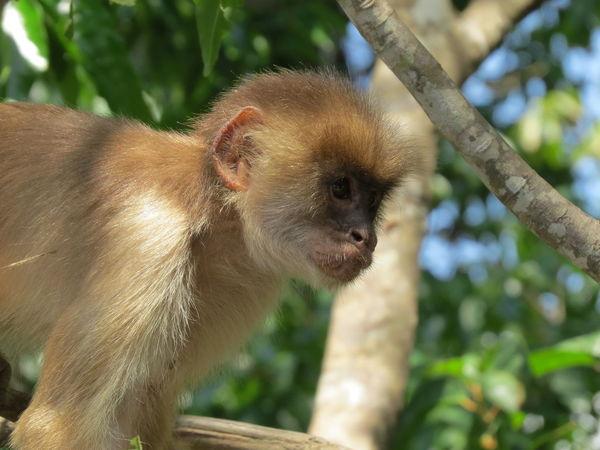 Amazon Amazon Monkey Amazon River Amazonas Animal Themes Animals In The Wild Beauty In Nature Close-up Mammal Monkey Nature At Its Best Nature Up Close One Animal Travel The World Wildlife