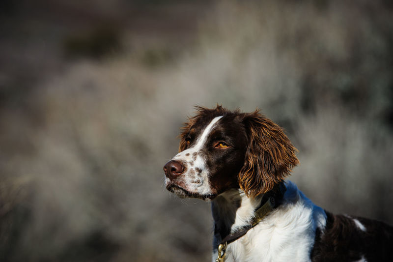 Brittany Spaniel dog Animal Themes Brittany Spaniel Canine Day Dog Hunting Dog Mammal No People Outdoors Pet Pets Portrait Selective Focus Spaniel