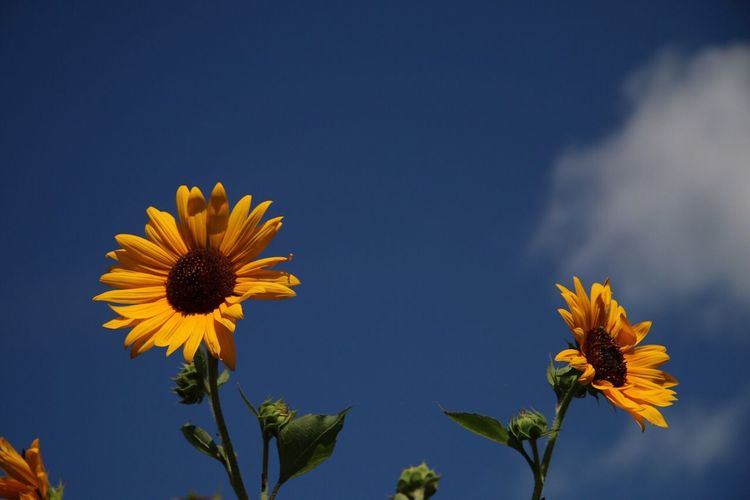 Close-up of sunflower blooming against clear sky