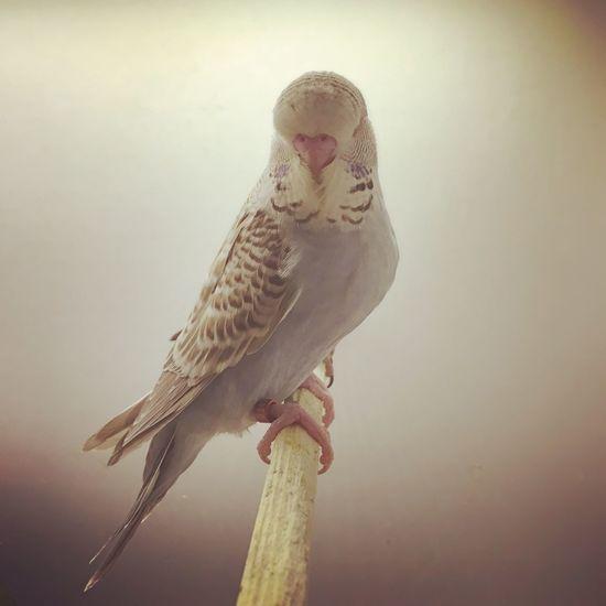Bird English Budgie Show Show Jumbo Jumbo Budgerigar Budgie Budgies Muhabbetkusu Muhabbet Kuşu