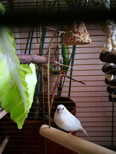 society finch, white White Society Finches White Society Finch Pet Beautiful Pipi Bird Perching Cage Hanging Birdcage Animal Themes Close-up Bird Feeder