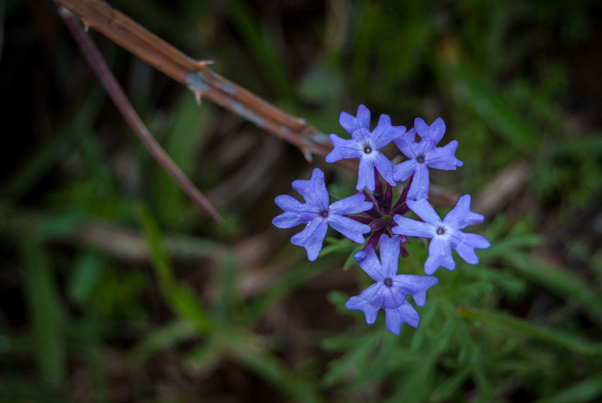 Purply-blue flowers Bolivia Beauty In Nature Blooming Blue Close-up Day Flower Flower Head Focus On Foreground Fragility Freshness Growth Nature No People Outdoors Petal Plant Purple Torotoro