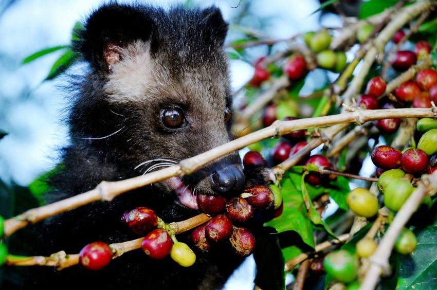 Luwak Coffee Civet Civet Coffee Civetcat Cofee Coffeeberries Coffeefarm Drink Redcoffee Food And Drink Agriculture Fruit Branch Healthy Eating Highland Sweet Fruits Speciality Honey Highquality Original Animal Animal Photography One Animal Tree Outdoors Close-up