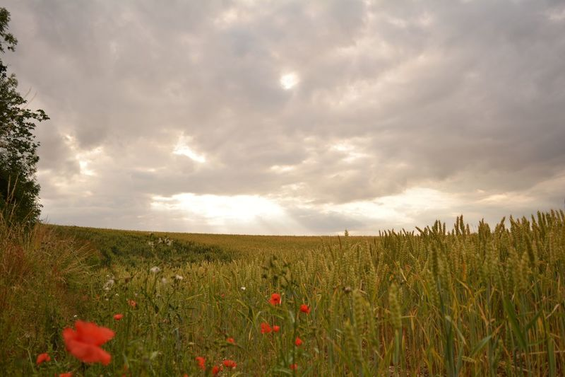 EyeEmNewHere Be.Ready Beauty In Nature Field Growth Nature Sky Landscape Flower Rural Scene Plant Crop  Beauty In Nature Agriculture Grass Tranquility No People Cereal Plant Poppy Tranquil Scene Scenics Outdoors Day Lincolnshire Wolds