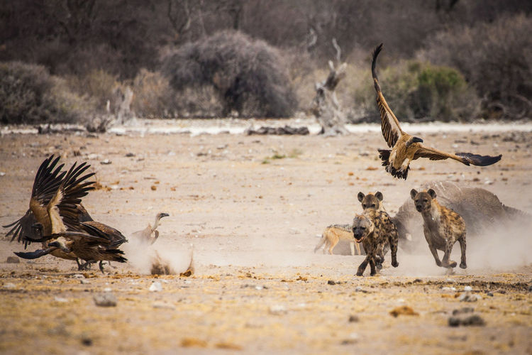 Hyenas And Vultures On Landscape