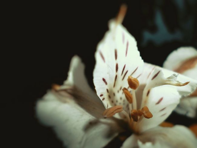 after a long time i edit a photo...... Flower Fragility Beauty In Nature Blossom Selective Focus Black Background EyeEm Diversity Nature Freshness Springtime Close-up Beauty Day Outdoors Petal Flower Head No People Stamen Growth