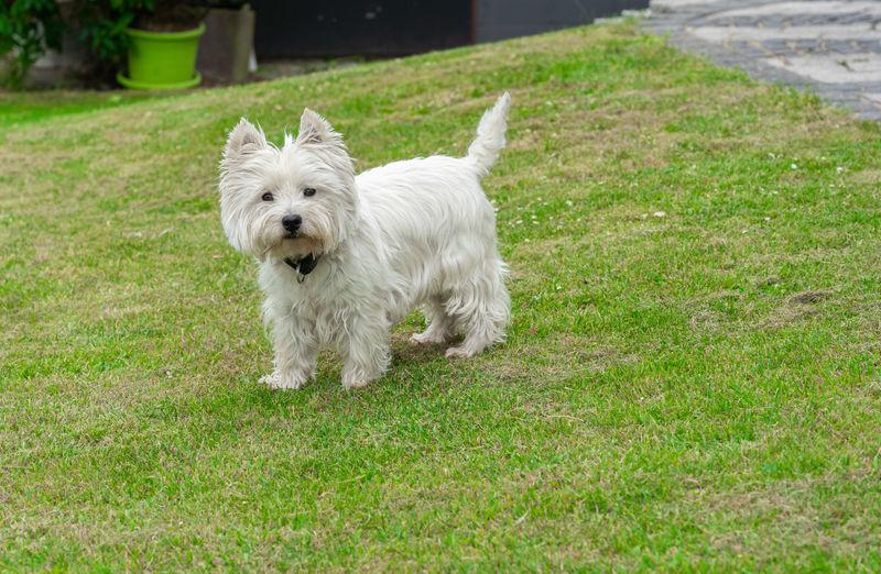 White dog running on grass