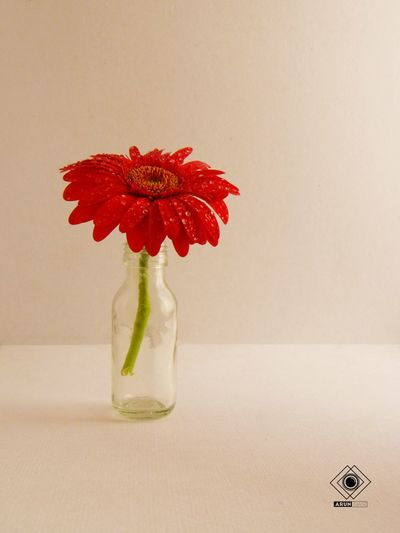 Howcoolisthat Studio Shot No People Flower Red Simplicity Daisy 🌼 Simple