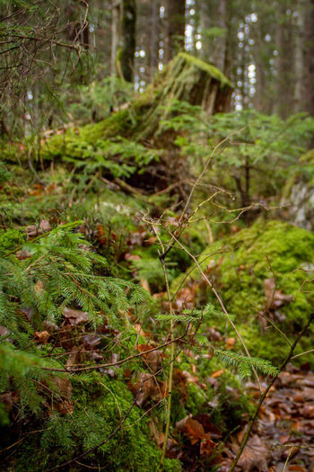 Plant Land Forest Growth Nature Green Color Tree Day No People Tranquility Focus On Foreground Moss Beauty In Nature Outdoors Plant Part WoodLand Leaf Close-up Field Selective Focus