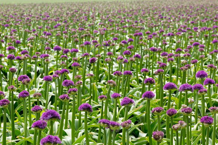 Full Frame Shot Of Purple Flowers Blooming On Field